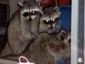 The 'Coons