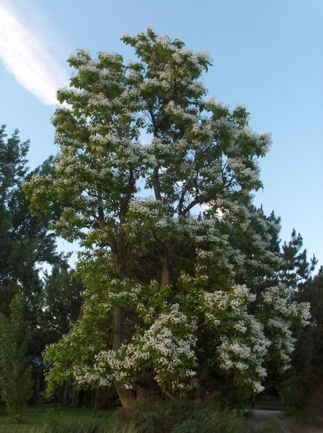 Flowering Catalpa Tree